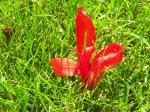 Wayward Canna Lily