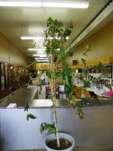 Pruned Coffee Tree