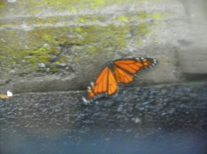 monarch out of the rain
