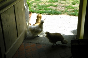 chickens in house