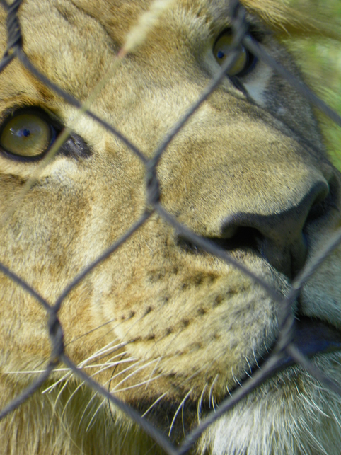 lion through fence