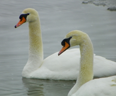 swans101_2768