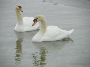 swans101_2769