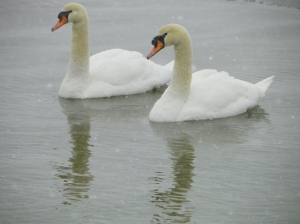 swans101_2770