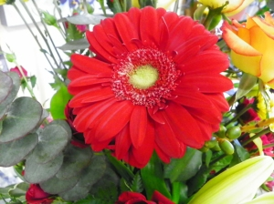 gerbara daisy red