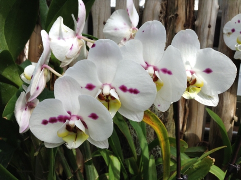 white orchids in a ros
