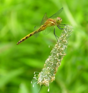 dragonfly101_3503