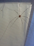 spider in tent