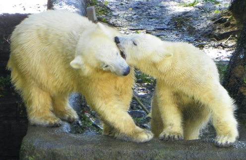 polar bear cubs playing