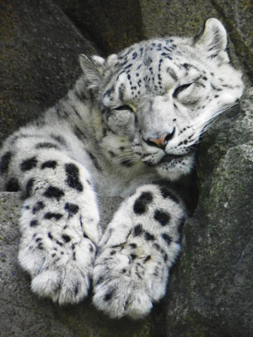 snow leopard sleeping