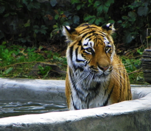 tiger in pool