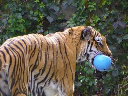 tiger with toy