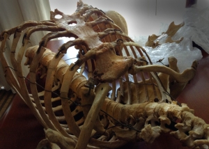 human ribcage