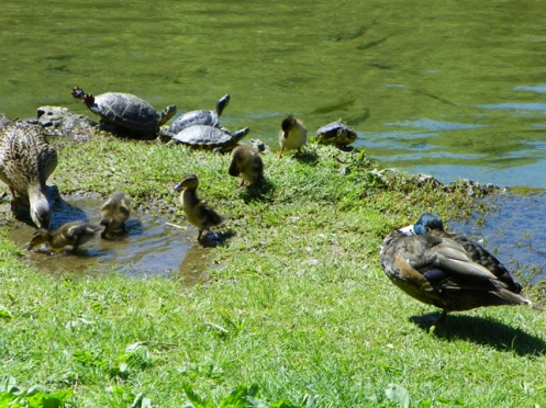 ducks and turtles