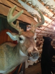 deer mount in velvet