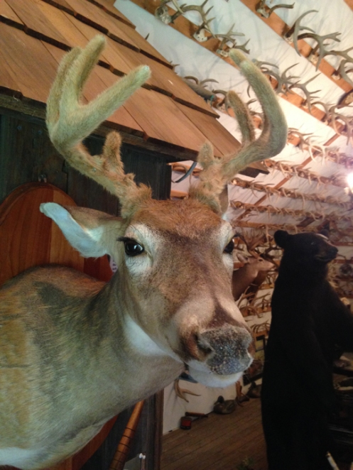 deer mount in velvet
