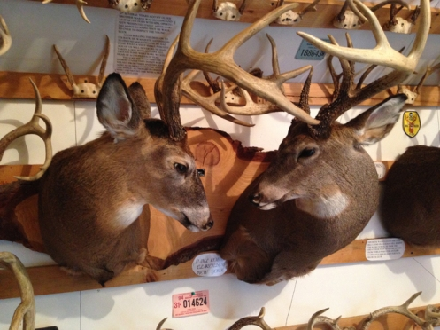 mount of two antlered white tail