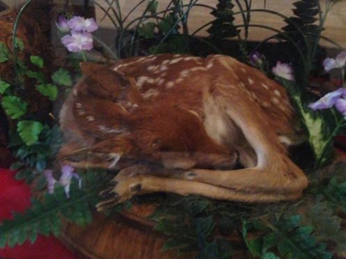 taxidermy of still born white tail deer