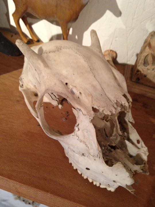 most of button buck skull