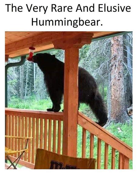 hummingbearmeme